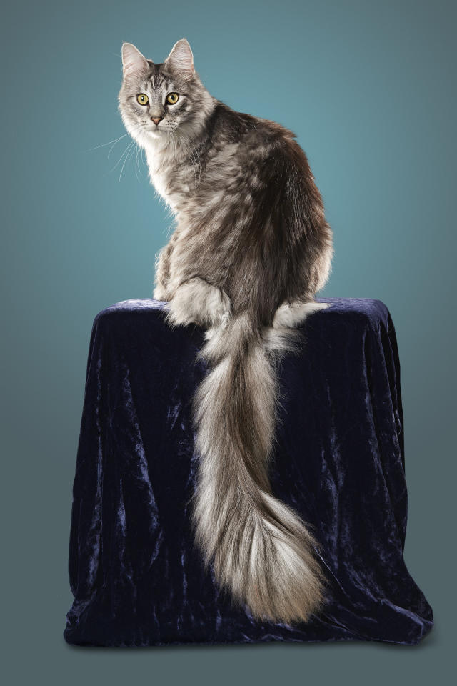 <p>The record for the longest tail in the world goes to Cygnus the Maine Coon cat. At only two years old, his tail is still growing around half an inch a month, according to his family. It's currently 44.66 cm. (PA) </p>