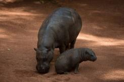 Anthrax may have killed 100 hippos in Namibia