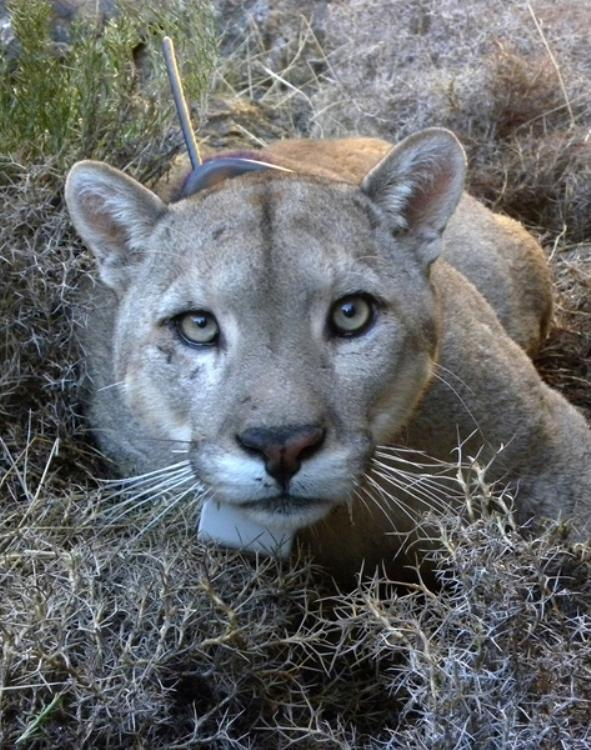 Portrait of an adult male puma, with a GPS collar.