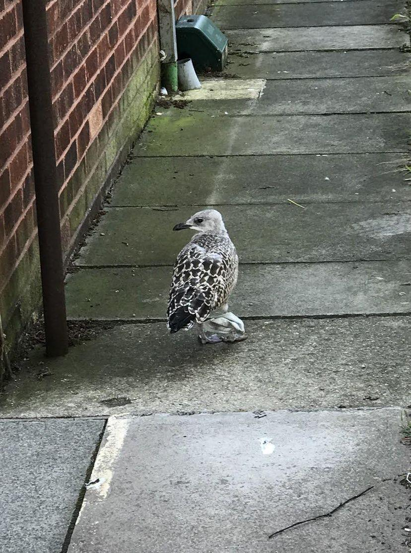 A seagull suffered from sore and swollen legs are being found wrapped in a face mask. (RSPCA)