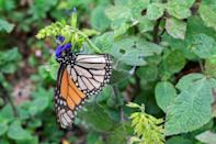 Many Monarch butterflies migrate to Mexico where they spend the winter