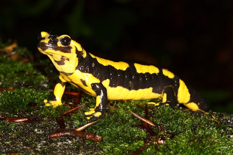 Fire salamanders, like the one pictured here, are highly vulnerable to a new virulent fungus
