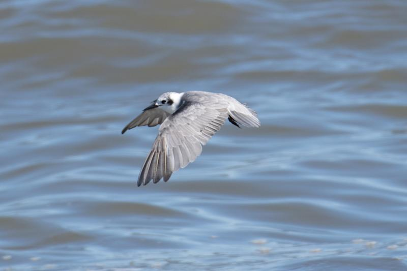 In an average year, only Black Terns are typically spotted, but on the day this photo was taken in Donkin, Cape Breton, N.S., more than 20 were seen. (Steven McGrath)