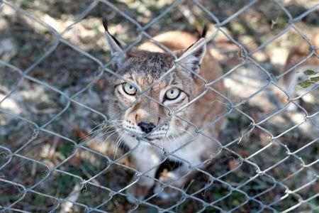 FILE PHOTO: A Siberian lynx sits in its cage in the aftermath of Hurricane Michael at the Bear Creek Feline Center in Panama City, Florida, U.S. October 12, 2018. REUTERS/Terray Sylvester/File Photo