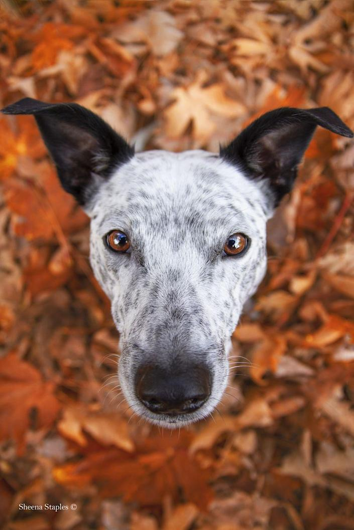<p>This image was taken as part of a commissioned autumn-themed portrait session of Synchro — a beautiful cross breed dog. </p>