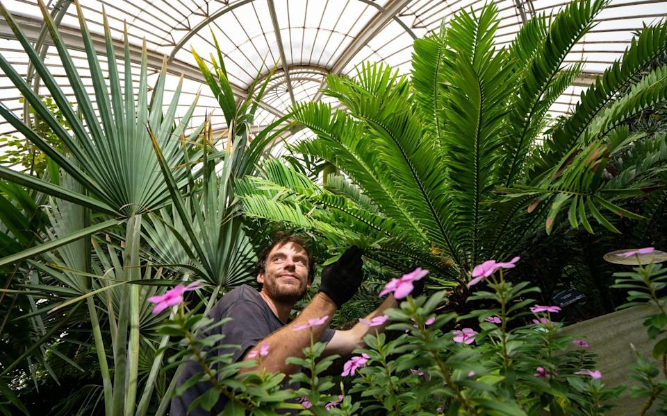 Botanical Horticulturalist Will Spoelstra with Kew Garden's oldest plant, a prickly cycad - Dominic Lipinski /PA