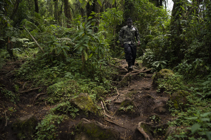 Biologist Jean Paul Hirwa walks down a trail to observe mountain gorillas in Volcanoes National Park, Rwanda. Hirwa is part of the world's longest-running gorilla study — a project begun in 1967 by famed American primatologist Dian Fossey. (Photo: Felipe Dana/AP)