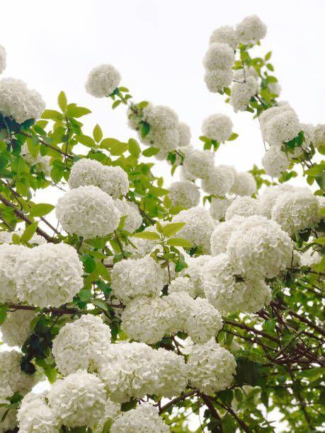 """<p>These stunning shrubs range in height from a few feet tall to eight or more feet. The blooms can be tiny like softballs or gigantic like bowling balls! Many types have white to cream-white blooms that last for months. Hydrangeas need sun to bloom best.</p><p><a class=""""link rapid-noclick-resp"""" href=""""https://www.amazon.com/Hardy-Hydrangea-Paniculata-Shrub-Flowers/dp/B01BXXVYA2/ref=sr_1_4?tag=syn-yahoo-20&ascsubtag=%5Bartid%7C10063.g.35507259%5Bsrc%7Cyahoo-us"""" rel=""""nofollow noopener"""" target=""""_blank"""" data-ylk=""""slk:SHOP HYDRANGEAS"""">SHOP HYDRANGEAS</a></p>"""