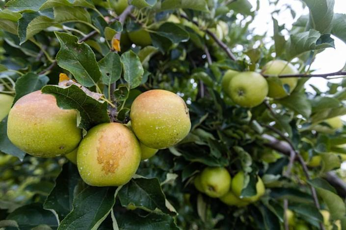 Gala apples are among the fruits for visitors to pick at Eckerts Orchard in Versailles. Peaches and blackberries are also currently available. Blueberries are almost wiped out.