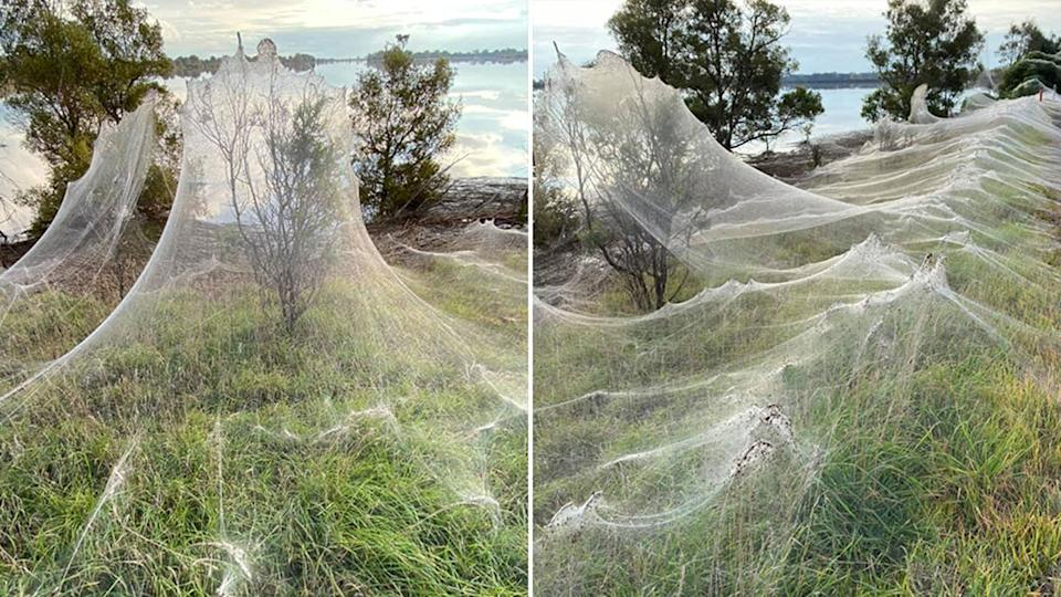 Pictured are spiderwebs seen from Sale and Longford in the Gippsland region.