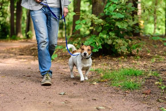 A terrier dog on a walk in the woods