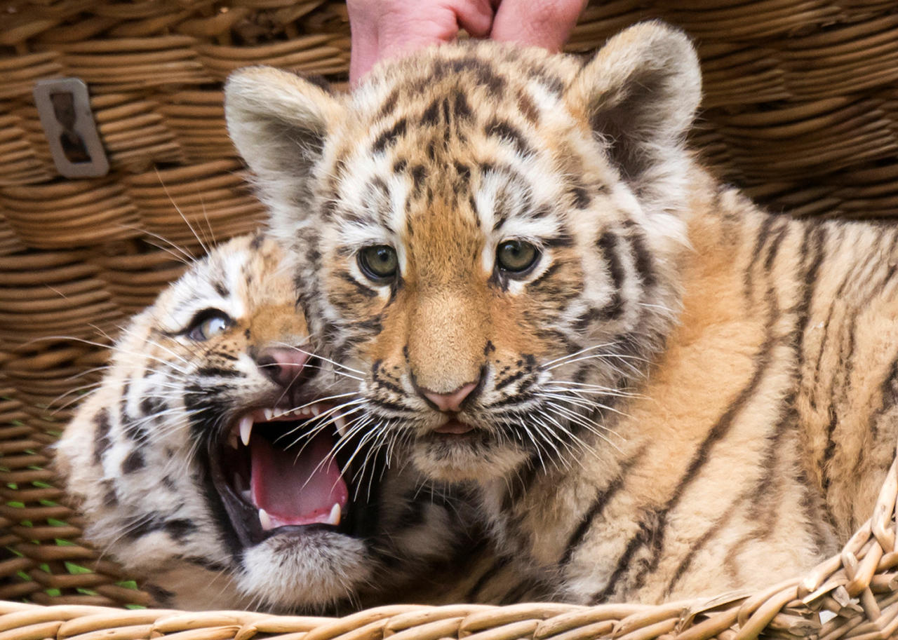 <p>The female Amur tiger twin cubs (Panthera tigris altaica), also known as the Siberian tiger, look out of a basket during weighing at the zoo in Leipzig, Germany, May 10, 2017. The two Amur tiger babies were born on Feb. 24, 2017. (Photo: Jens Meyer/AP) </p>