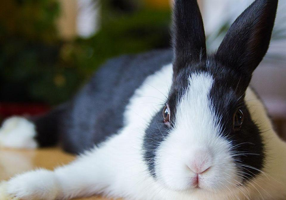 """<p>Yorkshire, England started the custom of shouting """"Black rabbits, black rabbits, black rabbits"""" in the final seconds of the year to <a href=""""http://www.bbcamerica.com/anglophenia/2013/12/10-british-ways-ring-new-year"""" rel=""""nofollow noopener"""" target=""""_blank"""" data-ylk=""""slk:wish away bad juju"""" class=""""link rapid-noclick-resp"""">wish away bad juju</a>. Then, people shout """"White rabbits, white rabbits, white rabbits"""" as soon as midnight hits to bring on the good vibes.</p>"""