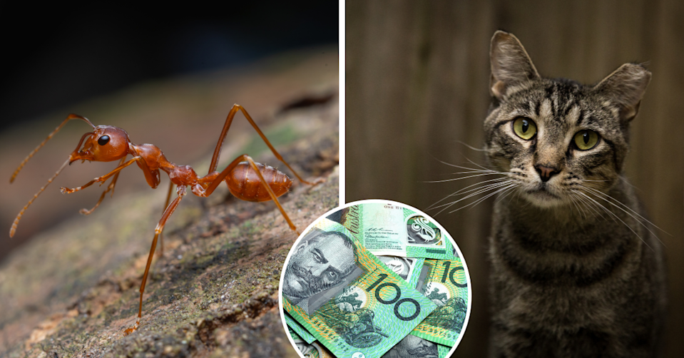 A macro shot of a red ant in nature, a stray cat and Australian $100 bills.