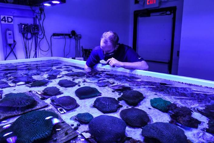 A staff member works on restoring Florida's coral reef at the Florida Coral Rescue Center in Orlando on September 20, 2021, as the state's reef suffers from the fatal stony coral tissue loss disease (AFP/CHANDAN KHANNA)