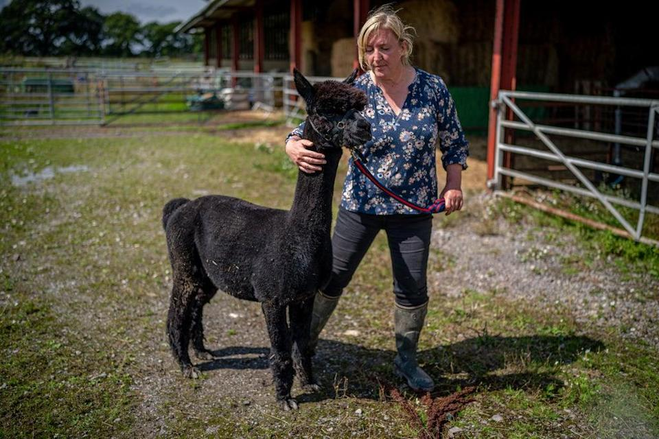 Helen Macdonald in the bio-secure pen with Geronimo the alpaca (Ben Birchall/PA) (PA Wire)