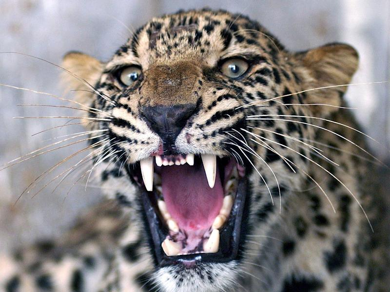 An injured common leopard roars as Pakistani employees of the Wildlife Department (unseen) attempt to give it an injection in Peshawar, 28 June 2006. (TARIQ MAHMOOD/AFP/Getty Images)