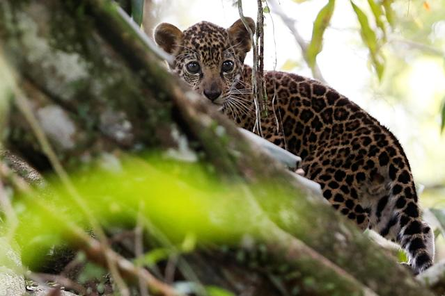 <p>A jaguar cub, stands atop a tree during a flood at the Mamiraua Sustainable Development Reserve in Uarini, Amazonas state, Brazil, June 5, 2017. (Photo: Bruno Kelly/Reuters) </p>