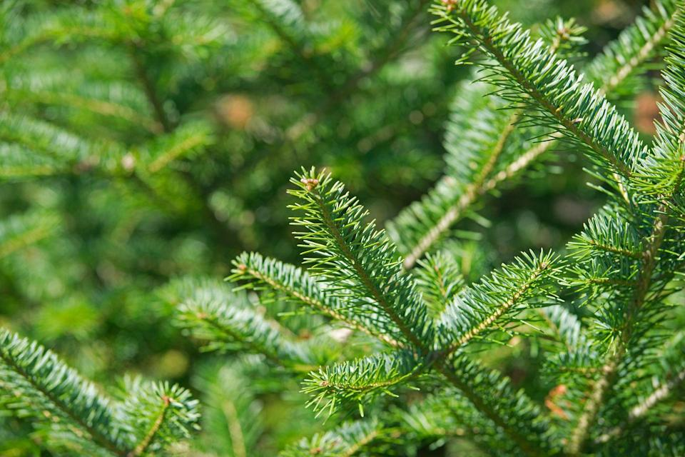 "<p>If what you want most is the it-must-be-Christmas smell when you walk in the door, the <em>Farmer's Almanac</em> says this is the <a href=""https://www.farmersalmanac.com/popular-christmas-tree-varieties-29268"" rel=""nofollow noopener"" target=""_blank"" data-ylk=""slk:most fragrant of the Christmas tree varieties"" class=""link rapid-noclick-resp"">most fragrant of the Christmas tree varieties</a>. ""<strong>It has a strong, 'spicy' Christmas tree scent</strong> and its conical form and dark green color make it what most people identify with as a Christmas tree,"" Radin says. ""It also has excellent needle retention! Its soft green leaves are a favorite for wreaths.""</p><p><strong>RELATED:</strong> <a href=""https://www.goodhousekeeping.com/holidays/christmas-ideas/g393/homemade-christmas-ornaments/"" rel=""nofollow noopener"" target=""_blank"" data-ylk=""slk:60 Unique Christmas Tree Ideas for a Holiday Celebration to Remember"" class=""link rapid-noclick-resp"">60 Unique Christmas Tree Ideas for a Holiday Celebration to Remember</a></p>"