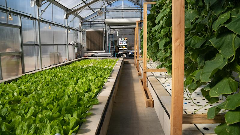 The leafy greens shown here, atthe Ecolife Innovation Center in northern San Diego County, are grown using aquaponics. (HuffPost)