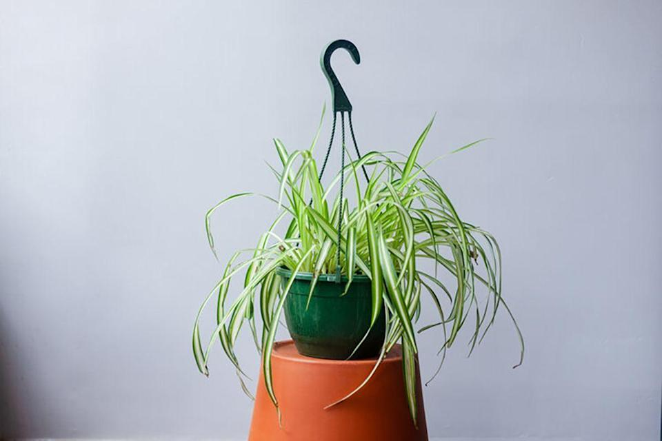 """<p><strong>Natty Garden</strong></p><p>nattygarden.com</p><p><strong>$24.99</strong></p><p><a href=""""https://www.nattygarden.com/plants/spider-plant-8-hanging-basket"""" rel=""""nofollow noopener"""" target=""""_blank"""" data-ylk=""""slk:SHOP NOW"""" class=""""link rapid-noclick-resp"""">SHOP NOW</a></p><p>She's a classic for a reason! Hang her from the ceiling and pretend you own a greenhouse in the English countryside.</p>"""