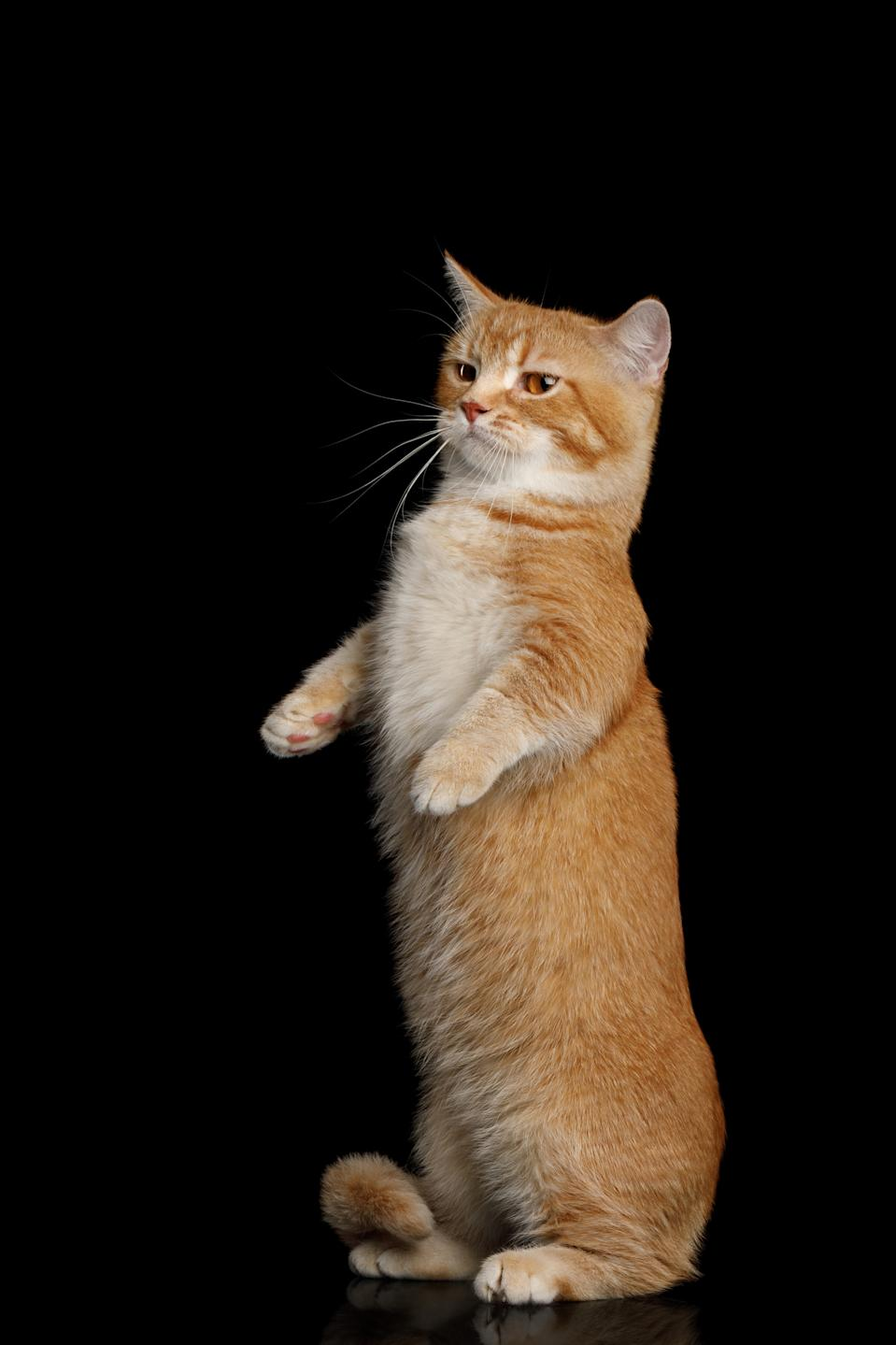 Red Munchkin Cat Standing Rearing up on Isolated Black background