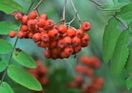 """<p><span class=""""redactor-unlink"""">People burn the branches of a rowan tree</span> on Christmas Eve to symbolize setting aside their differences with family and friends. If the <span class=""""redactor-unlink"""">fire</span> goes out <a href=""""https://www.housebeautiful.com/entertaining/holidays-celebrations/g2774/christmas-stockings/"""" rel=""""nofollow noopener"""" target=""""_blank"""" data-ylk=""""slk:before Christmas Eve ends"""" class=""""link rapid-noclick-resp"""">before Christmas Eve ends</a>, bad luck will follow. </p>"""
