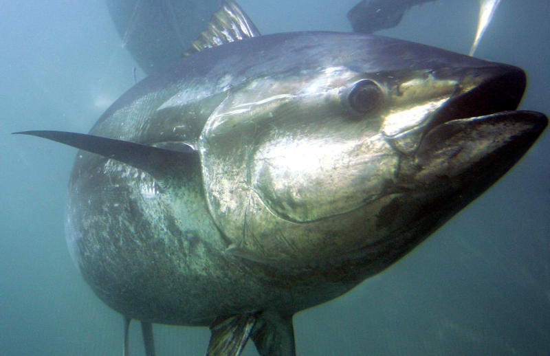 WTO ruling favors Mexico in US 'dolphin-safe' tuna spat