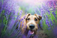 <p>In general, terriers not only make excellent pets but are also known for their low-shedding coats. An Irish terrier specifically has a double coat. The top layer consists of tight, wiry hair while the bottom, insular layer is feathery and fine. They require nominal grooming to keep them in shipshape.</p>