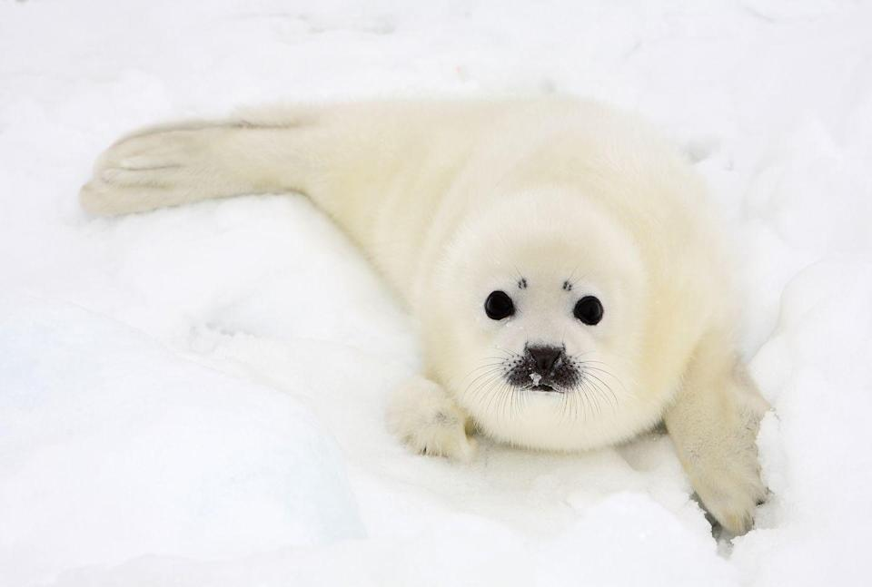 """<p>A baby harp seal on its own is too cute for words. A baby harp seal in the snow just makes it that much cuter. The interesting thing about these seals is that their fur is actually meant to <a href=""""https://oceana.org/marine-life/marine-mammals/harp-seal"""" rel=""""nofollow noopener"""" target=""""_blank"""" data-ylk=""""slk:absorb sunlight"""" class=""""link rapid-noclick-resp"""">absorb sunlight</a> to keep them warm even when it's dark out.</p>"""