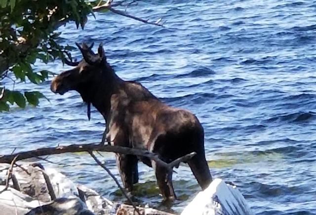 A moose stands in Lake Champlain in South Hero, Vt. Wildlife officials say the animal had crossed the lake and made it to shore, but went back in the water, after likely feeling threatened by onlookers, and drowned. (Bernadette Toth via AP)