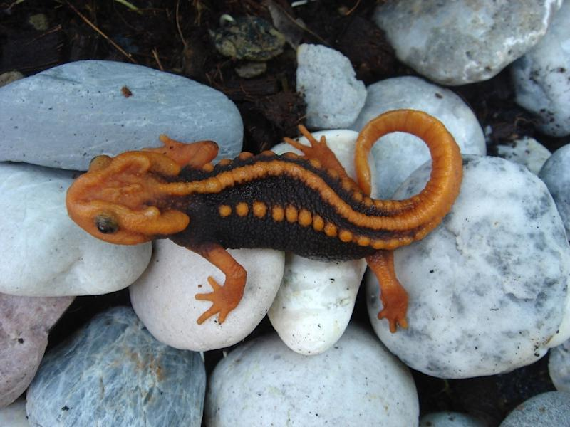 A new species of newt called the tylototriton anguliceps in Chiang Rai, Thailand (AFP Photo/Porrawee POMCHOTE)