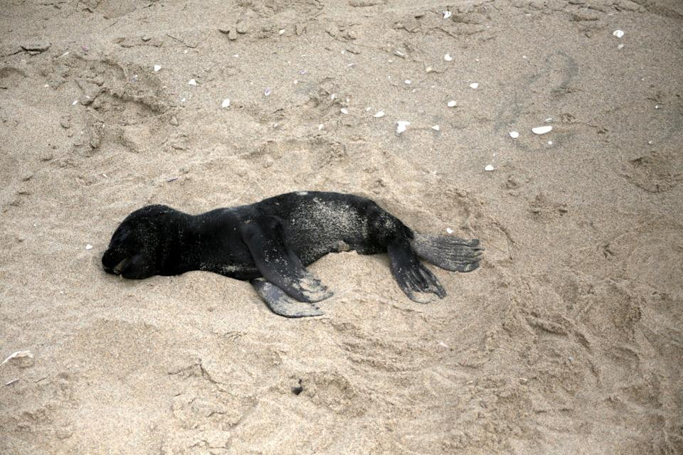 The crisis is worst at Pelican Point, though dead seals and pups have been observed all along the Namibian coast. Source: Namibian Dolphin Project