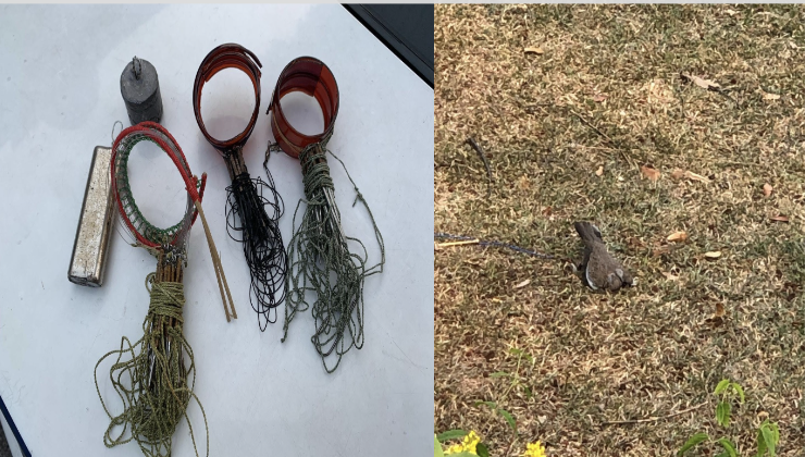 The devices that Lim Thiam Hay used to trap the dove (left) and the dove (right). (PHOTO:NParks)