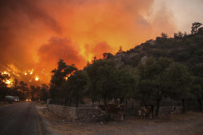 Cows shelter close to an advancing fire that rages Cokertme village, near Bodrum, Turkey, Monday, Aug. 2, 2021. For the sixth straight day, Turkish firefighters battled Monday to control the blazes that are tearing through forests near Turkey's beach destinations. Fed by strong winds and scorching temperatures, the fires that began Wednesday have left eight people dead. Residents and tourists have fled vacation resorts in flotillas of small boats or convoys of cars and trucks. (AP Photo/Emre Tazegul)