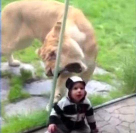 Lioness Tries To Eat Zebra-Striped Baby — Adorable Video