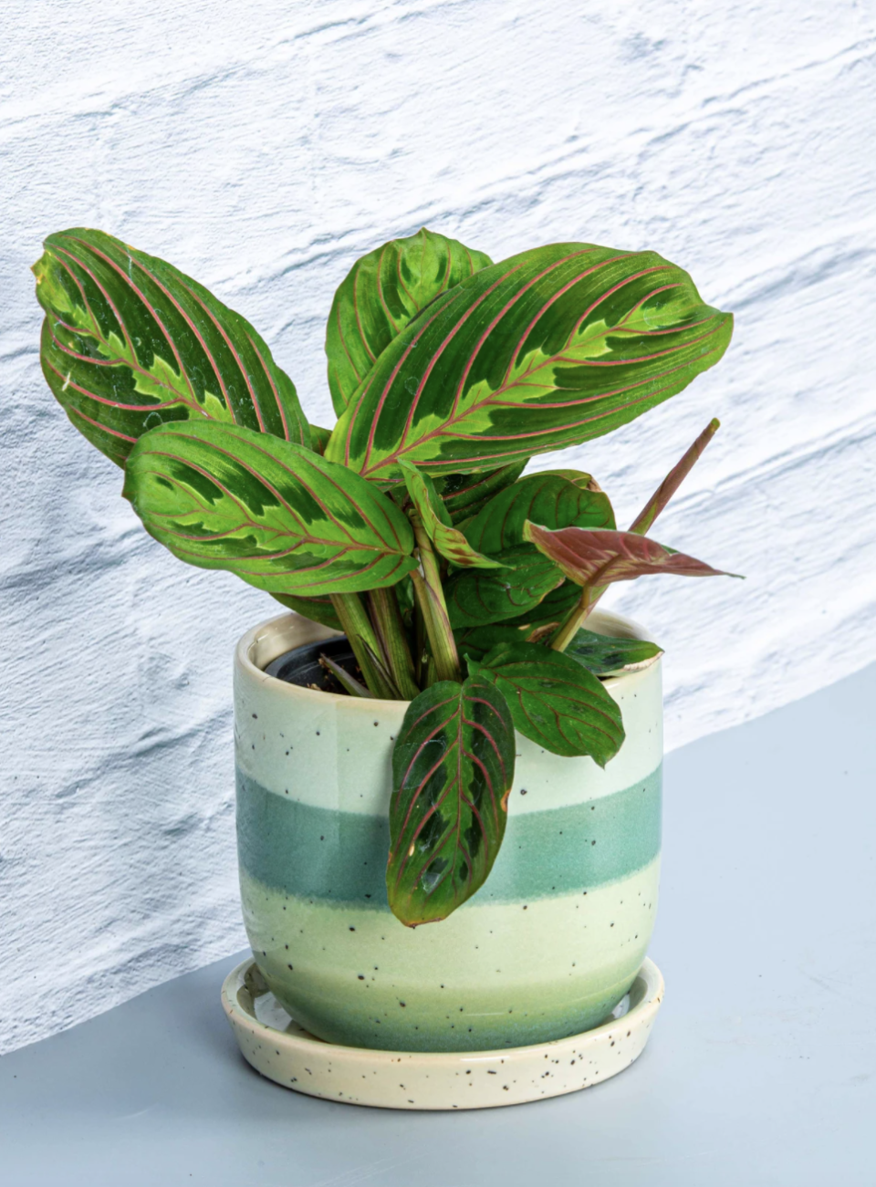 Prayer Plant in striped green and blue pot against blue background