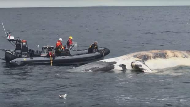 There were no deaths of North Atlantic right whales in Canadian waters in 2020.  The federal government has introduced speed restrictions and area closure rules in recent years.