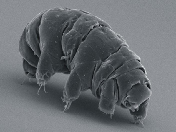 Tardigrades are also known as 'water bears' or 'moss piglets' (Wikipedia)
