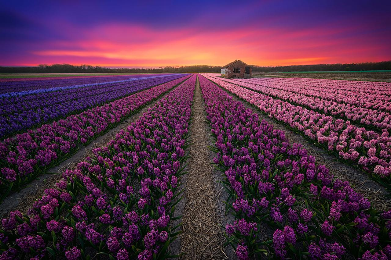 <p>Professional photographer Albert Dros took these stunning pictures of tulip fields in the Netherlands because he wanted to show the beauty of his country.<em> </em>(Photo: Albert Dros/Caters News) </p>