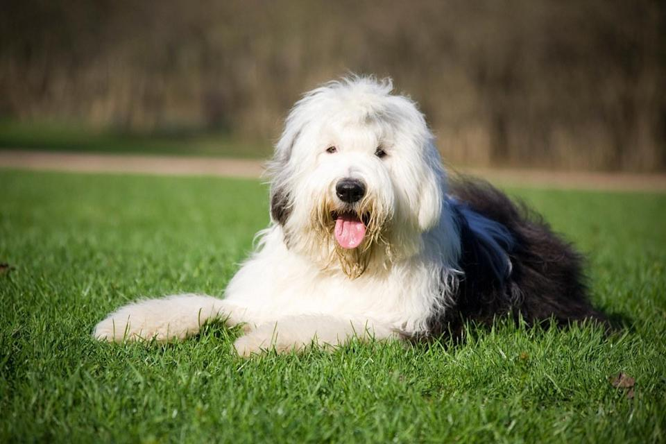 An Old English Sheepdog laying in the grass with its tongue out