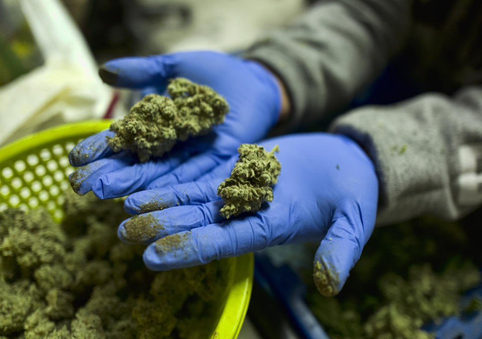 FILE - In this April 4, 2019 photo a cannabis worker displays fresh cannabis flower buds that have been trimmed for market in Gardena, Calif. A marijuana decriminalization bill introduced in Congress on Tuesday, July 23, would tax pot at the federal level, eliminate criminal penalties and allow people with federal pot convictions to seek expungement. (AP Photo/Richard Vogel, File)