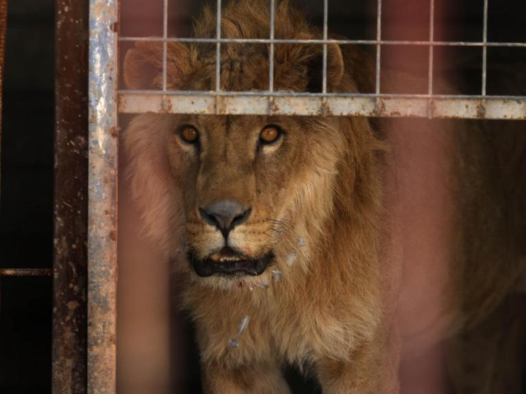 A bear and a lion, the last two surviving animals at Mosul zoo, have been rescued