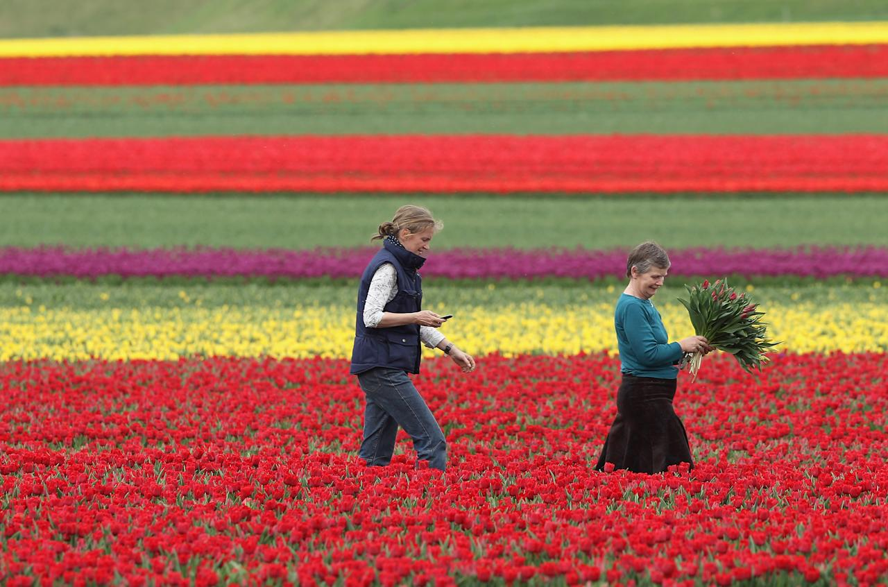 SCHWANEBERG, GERMANY - APRIL 27:  Farmer Christiane Degenhardt (C) and friend Barbara Ulferts gather tulips at Degenhardt's tulip field on April 27, 2012 near Schwaneberg, Germany. Spring weather is finally taking hold in Germany with temperatures expected to reach 28 degrees Celsius by the weekend.  (Photo by Sean Gallup/Getty Images)