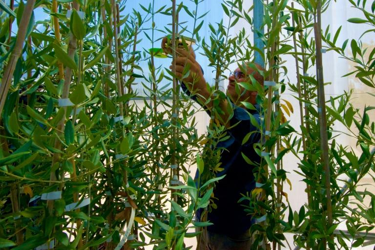 Agronomist and olive oil producer Giovanni Melcarne, who has lost 90 percent of his plants, is experimenting with olive saplings to be inoculated with Xylella in search of an immune variety (AFP Photo/Charles ONIANS)