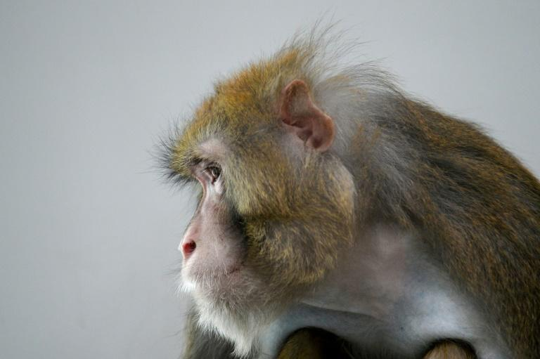 Rhesus macaques are often used in scientific experiments because of their similarities to humans (AFP Photo/JEAN-FRANCOIS MONIER )