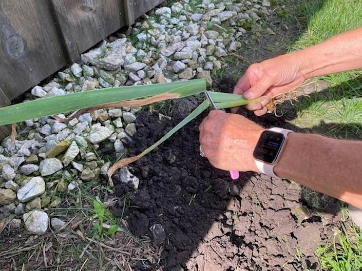 When replanting, leaves can be cut back by one-half to make the plant more manageable.