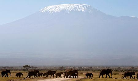 FILE PHOTO: Mount Kilimanjaro in the distance, as elephants walk in Amboseli National park January 26, 2015. REUTERS/Goran Tomasevic