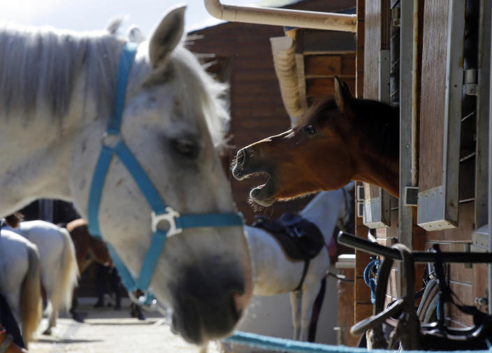 A horse neighs as he stands in a box at a equestrian club in Les Yvelines, French department west of Paris, Friday, Aug. 28, 2020. Armed with knives, some knowledge of their prey and a large dose of cruelty, attackers are going after horses and ponies in pastures across France in what may be ritual mutilations. Police are stymied by the macabre attacks that include slashings and worse. Most often, an ear, usually the right one, has been cut off, recalling the matador's trophy in a bullring. (AP Photo/Michel Euler)