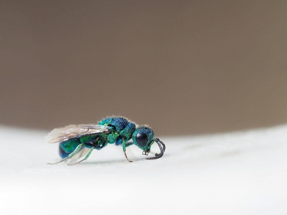 """<p><strong>What it is</strong>: <em>Chrysis</em> spp.</p><p><strong>Where it's from</strong>: Worldwide (except Antarctica)</p><p><strong>What to know</strong>: Good news: These tiny, iridescent beauties probably can't <a href=""""https://www.prevention.com/health/a32375891/hornet-sting-treatment/"""" rel=""""nofollow noopener"""" target=""""_blank"""" data-ylk=""""slk:sting you"""" class=""""link rapid-noclick-resp"""">sting you</a>—instead, they parasitize other wasps. Their <a href=""""https://baynature.org/article/the-cuckoo-wasp-a-gorgeous-parasite/"""" rel=""""nofollow noopener"""" target=""""_blank"""" data-ylk=""""slk:glittering appearance"""" class=""""link rapid-noclick-resp"""">glittering appearance</a> is the result of complex light refraction and a dimpled exoskeleton, and scientists still don't know why they're so colorful. (Aside from moths, parasitic wasps like this one are Kawahara's favorite insects.)</p>"""